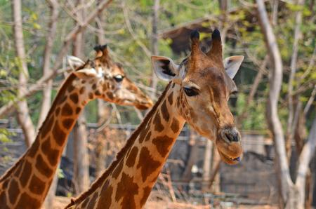 Faces of couple giraffe in a zoo Stock Photo