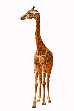 Beautiful giraffe on white background