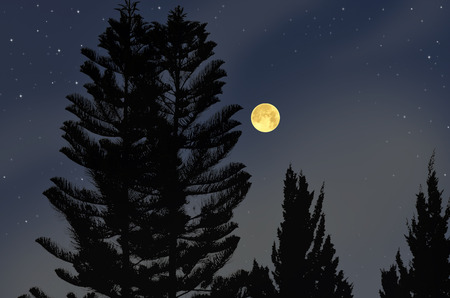 Black pine trees and full moon in the sky