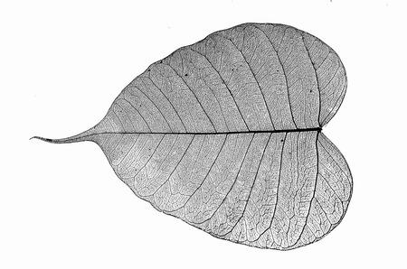 Details of black vein of bodhi leaf