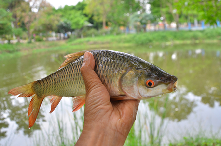 Fresh striped barb fish in a hand with pond background