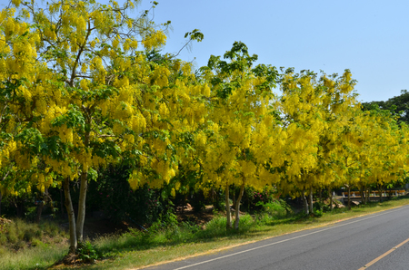 Beautiful yellow flower trees beside the road stock photo picture beautiful yellow flower trees beside the road stock photo 79220017 mightylinksfo