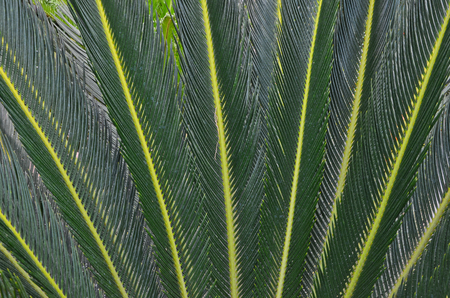 Details of dark green pattern of cycad leaves