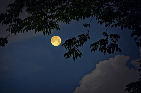 float cotton cloud: Burma padauk leaves and full moon in the night
