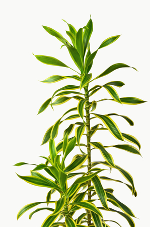 Beautiful green and yellow leaves of ribbon dracaena Stock Photo