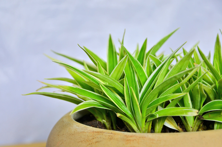 Green and white leaves of spider plant in brown pot