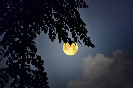 Black leaves of tree and full moon at night Imagens