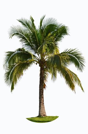 subtropical: Green palm tree on white background Stock Photo