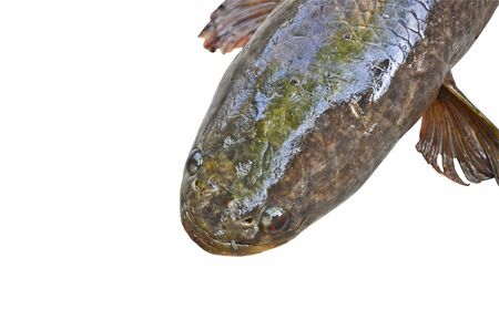 striped snakehead fish: Big head of snakehead fish on white background