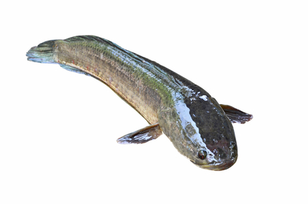 striped snakehead fish: Snakehead fish on white background Stock Photo