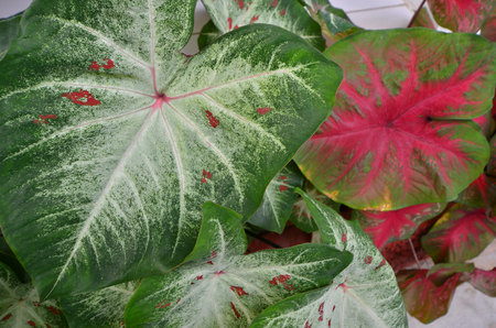 Two styles of beautiful caladium leaves