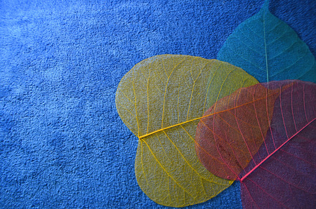 Beautiful colored veins of banyan leaves on blue background