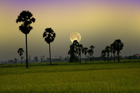 Beautiful big full moon over rice field in the evening