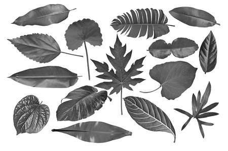 Black and white of single tropical leaves