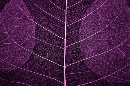 Beautiful pink pattern of vein leaf close up