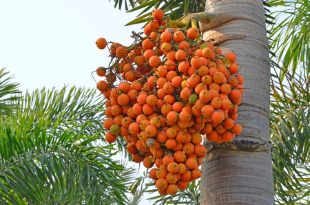 Yellow palm fruits on the tree with green leaves