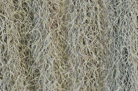 Beautiful details pattern of Spanish moss texture close up