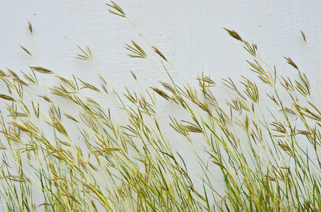 Beautiful bent grass flowers beside concrete wall