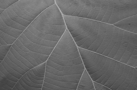 Black and white image of leaf texture closeup