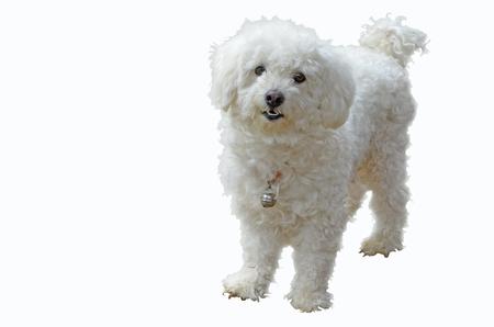 Perro de charco hermoso con pequeña campana de plata sobre fondo blanco Foto de archivo