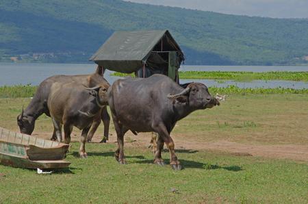 Walking buffalo and calf beside the lake Imagens