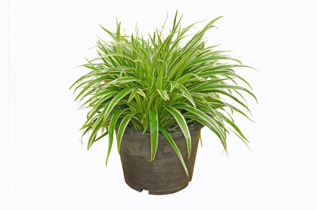Beautiful leaves of ornament plants in black pot isolated on white Stock Photo