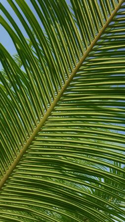 Beautiful green leaf and branch pattern of cycad tree