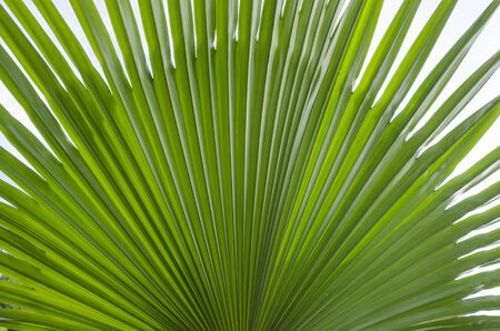 Beautiful green pattern of palm leaf texture