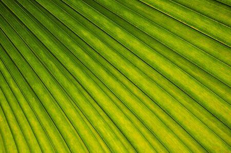 Fresh green and yellow leaf in sunlight 版權商用圖片