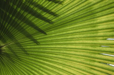 Light and shadow on green leaf palm