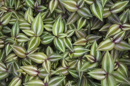 Top view of beautiful leaves of inch plant