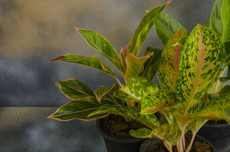 Beautiful leaves of aglaonema tree in black pots Banco de Imagens