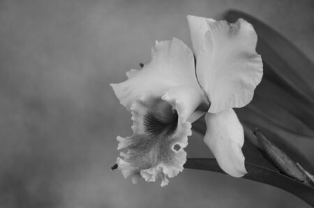 Black and white image of  flower orchid Banco de Imagens - 129808078