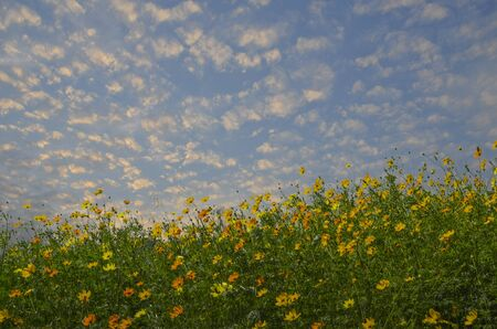 Beautiful cosmos flowers and cloudy sky