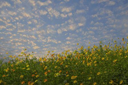 Beautiful cosmos flowers and cloudy sky Stok Fotoğraf - 129808092