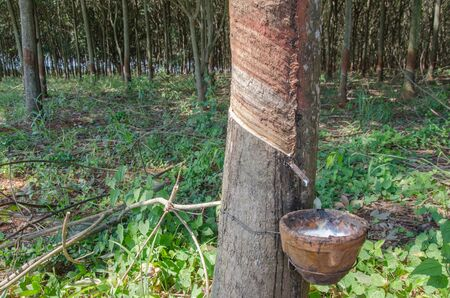Latex pot and slit on the bark of rubber tree