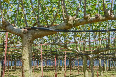 Wonderful branches of mulberry and hosepipes in garden