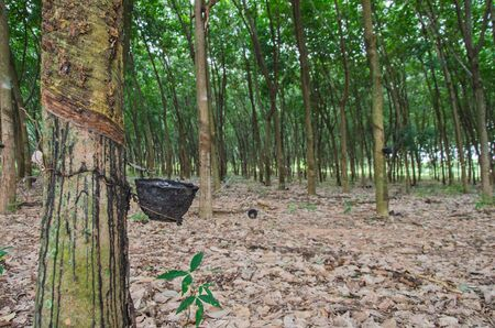 Latex pot on the bark of rubber section in forest Stock Photo