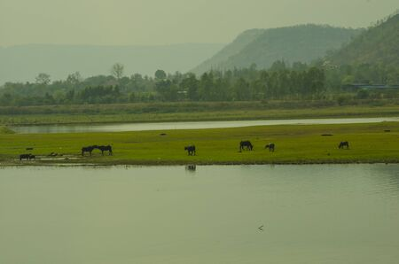Asia buffaloes in green field in the lake