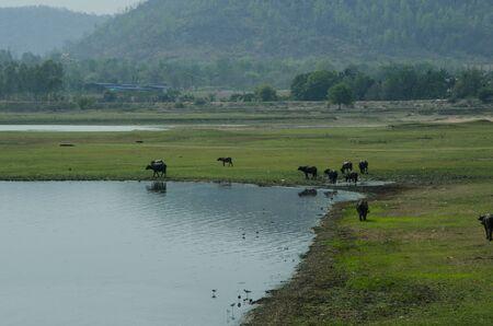 Green grass field with buffaloes near the mountain