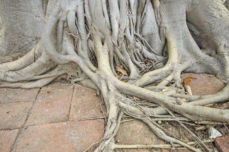 Wonderful pattern of Bodhi tree on brick floor