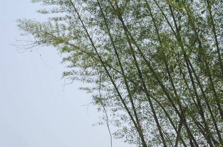 Bamboo trees with green leaves in summer