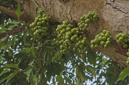 Green fruits on trunk of common fig tree