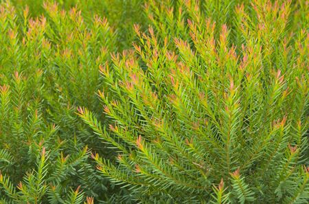 Beautiful buds and leaves of common juniper trees