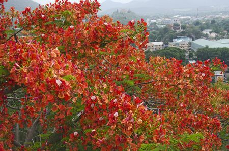 Beautiful royal poinciana  flowers with cityscape in the summer