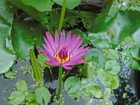 Beautiful pink flower of water lily in the pond