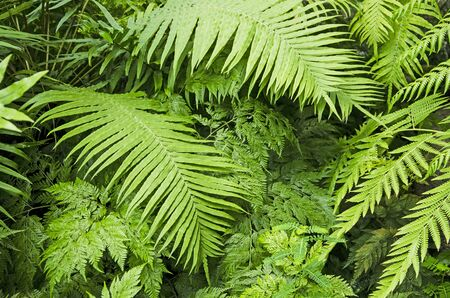 Beautiful fresh green leaves of fern in forest