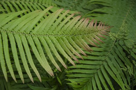 Beautiful green and red pattern of fern leaves