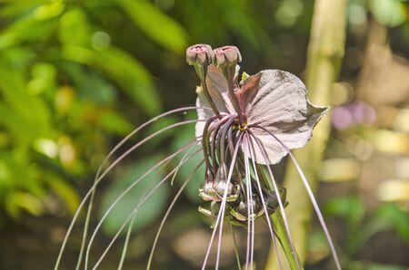 Wonderful flower of tacca chantrieri in sunlight