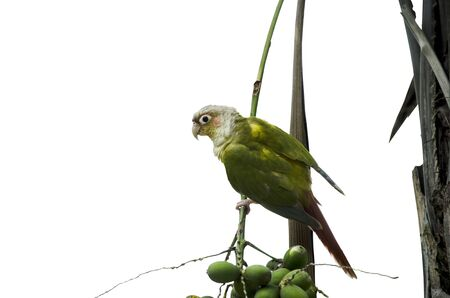 Beautiful green parrot on branch of palm with fruits